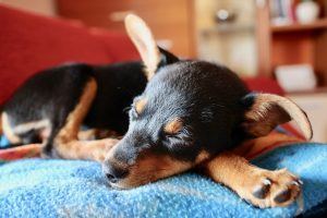 Healthy dog sleeping after spaying/neutering